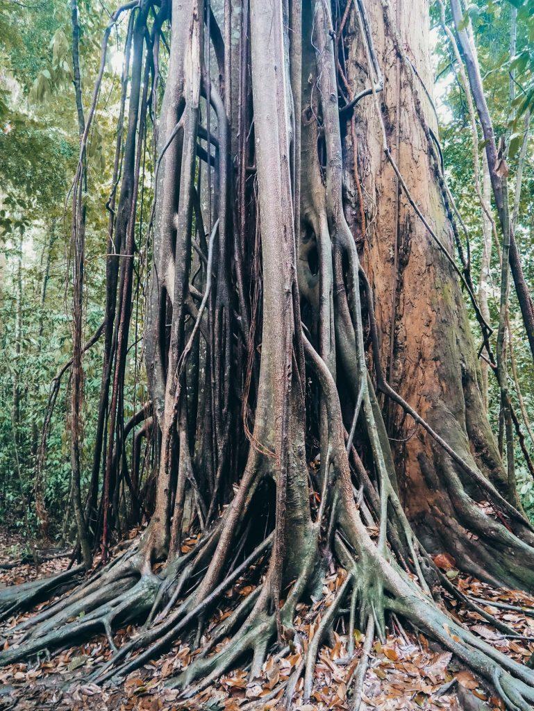 árbol con muchas raicés en el trekking de Bukit Lawang