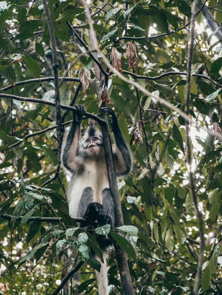 Mono Tomas Lip entre ramas de árboles
