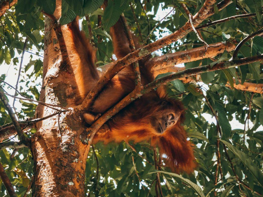 orangután colgado de ramas en el trekking de Bukit Lawang