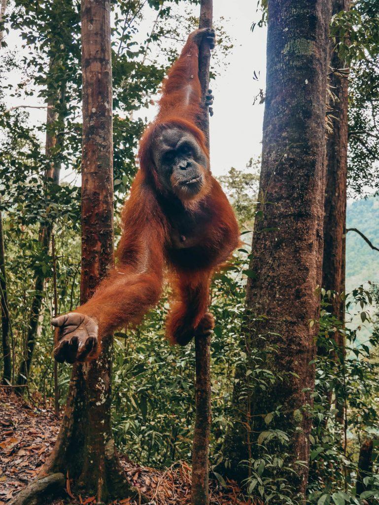 orangután pidiendo comida desde una rama