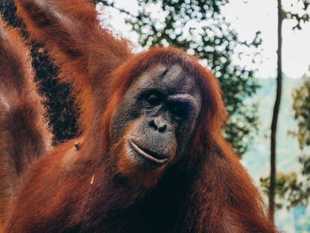 cara de un orangután