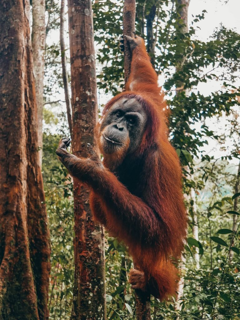orangután comiendo pipas