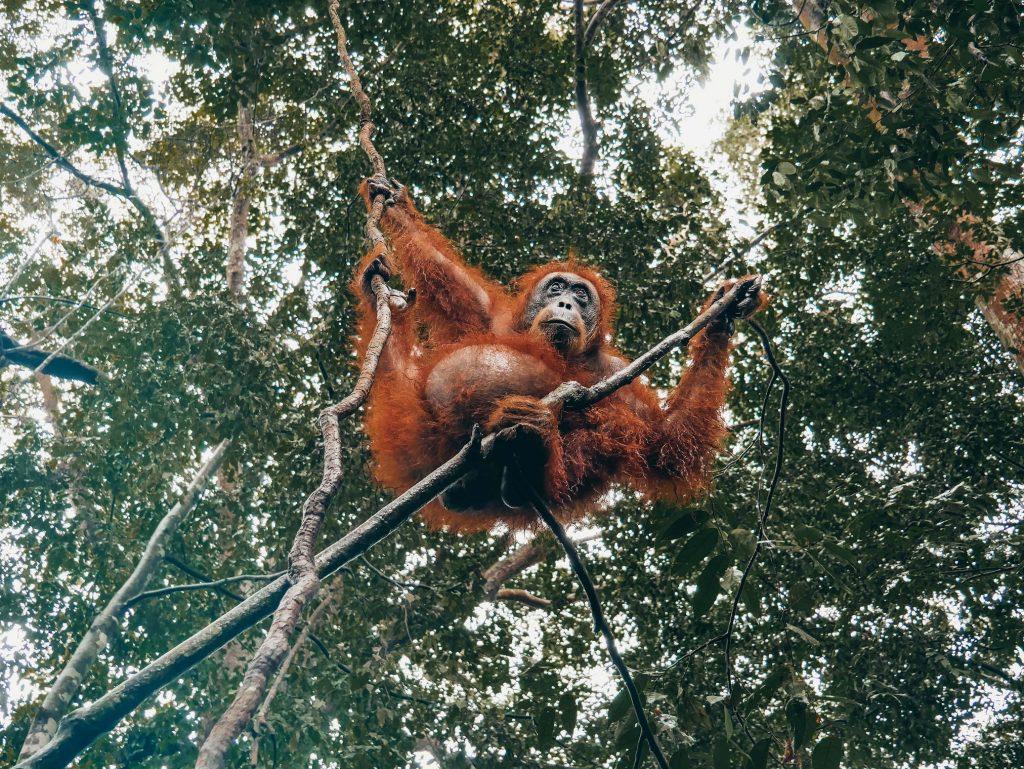 orangután entre las ramas de los árboles