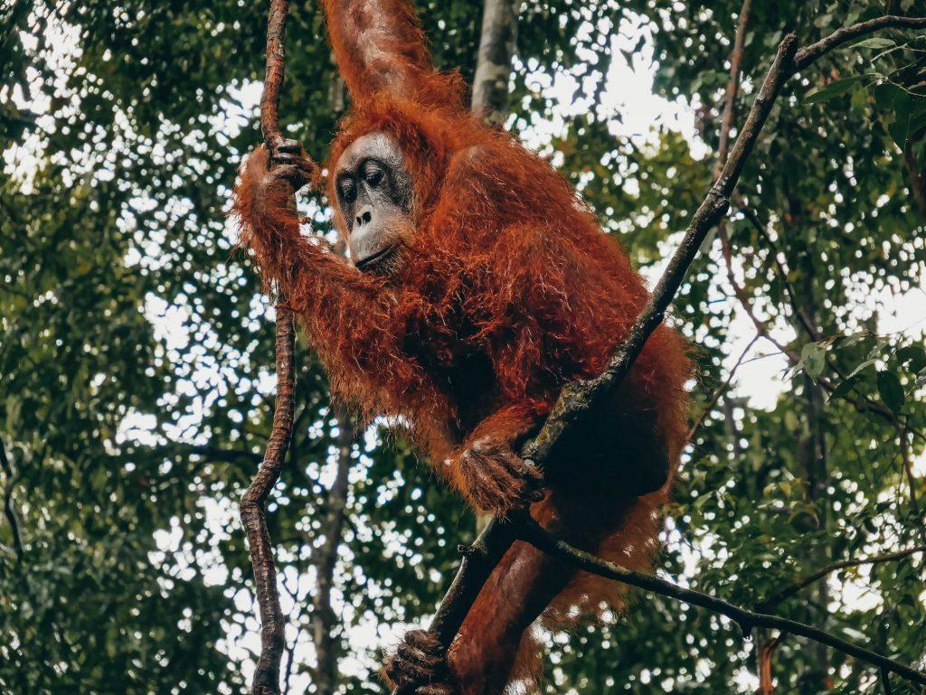 orangután entre las ramas de los árboles de Bukit Lawang