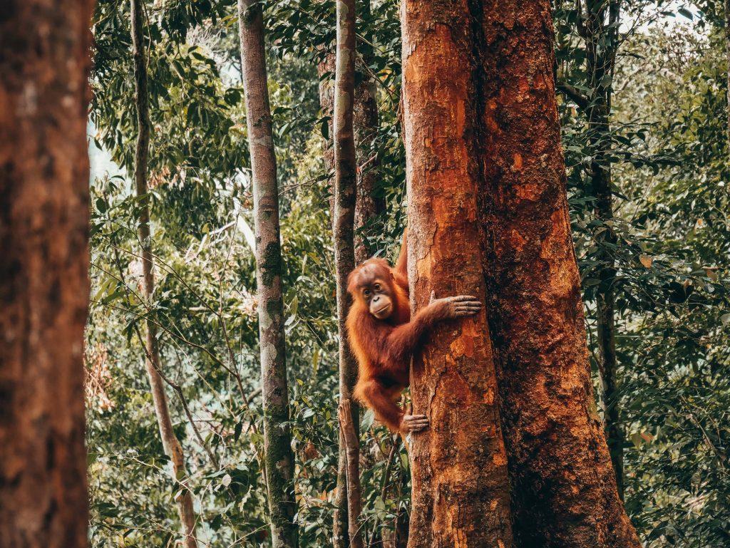 cría de orangután abrazada a un árbol